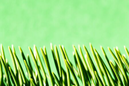 close up of vertical green pine needles Stock Photo - 16007149