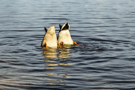 secret society: Ducks with their heads underwater  Unrevealed secrets concept