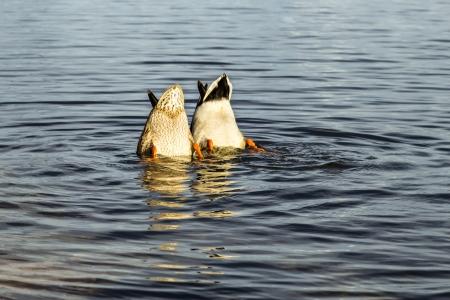 Eenden met hun hoofd onder water niet geopenbaarde geheimen begrip