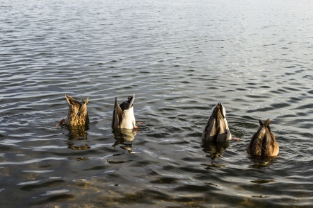 Ducks with their heads underwater  Secret meeting concept Stock Photo