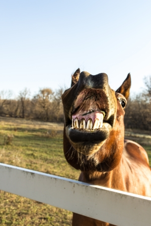 A brown horse with funny expression with its lips open and teeth showing