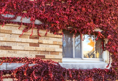 Red grape leaves around a window