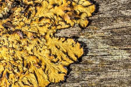 close up of an old rough wood background texture with lichen