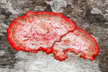 fungi: close up of an old rough wood background texture with red mildew Stock Photo