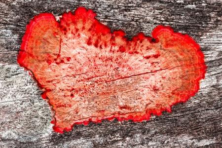 valentijn achtergrond close-up van een oude ruw hout textuur als achtergrond met rood hart gevormde meeldauw