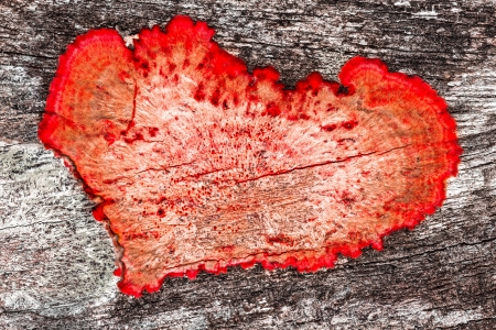 mildew: valentine background close up of an old rough wood background texture with red heart shaped mildew