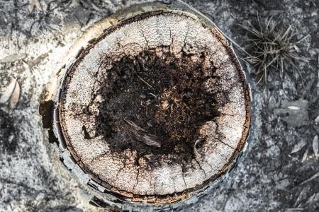 close up of a palm stump after fire