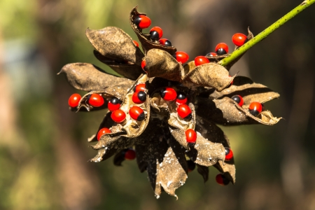 rosary pea or precatory bean most poisonous plant in the World