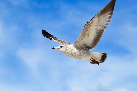 vliegende zeemeeuw met blauwe hemel achtergrond
