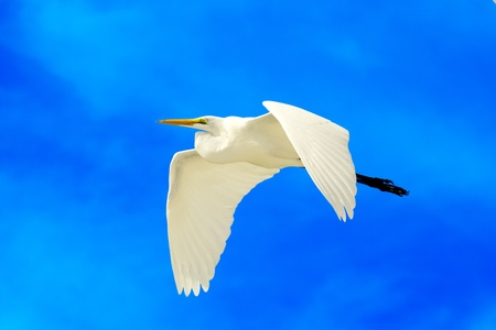 flying Great White Egret with blue sky background photo