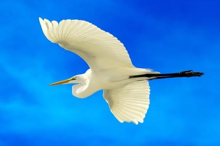 vliegende Grote Zilverreiger met blauwe hemel achtergrond