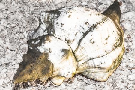 close-up van witte paard Conch of Crown Conch schelp