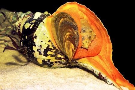 Paard Conch of Crown Conch schelp eten van andere schelpen Stockfoto