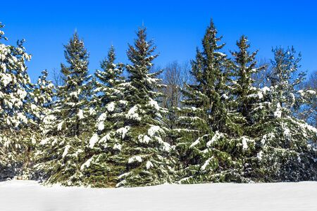big pine trees covered with snow on clear blue sky Stock Photo