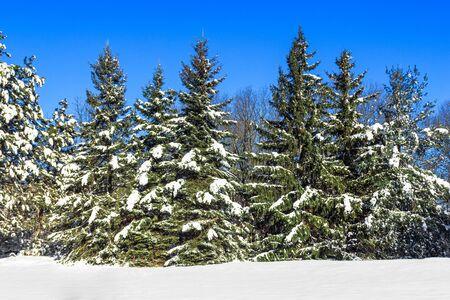 grote pijnbomen bedekt met sneeuw op heldere blauwe hemel