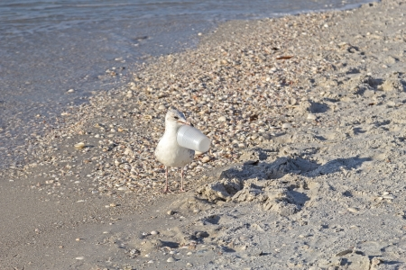 The diligent seagull is cleaning the beach from trash