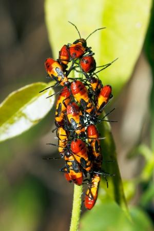 Close Up of a Large Milkweed Bug Nymphs (Oncopeltus fasciatus) Stock Photo