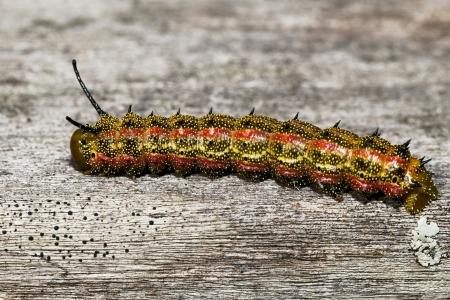 Roze-gestreepte Oak Worm Moth Caterpillar Anisota virginiensis