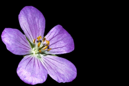 Close Up of Spotted Geranium or Wild Geranium isolated on black background