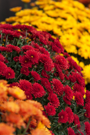 colorful Chrysanthemums planted for fall