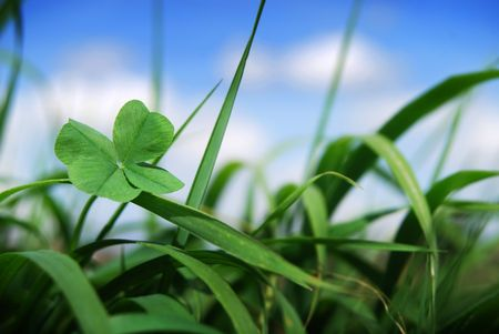 Four leaf clover growing amounst wild grass focus on the clover