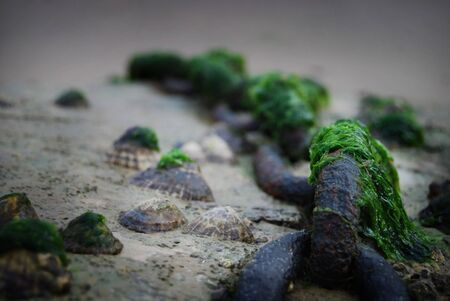 Old chain on beach surrounded by shells covered in bright green sea weed. Focus on first chain link. Stock Photo - 2444603