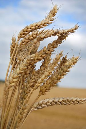 Wheat from a harvested feild photo