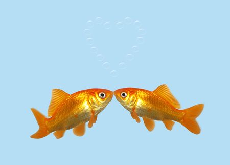 Gold fish kissing creating a heart of bubbles. photo