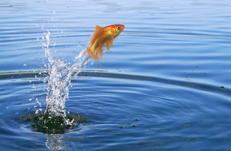 water activity: Goldfish jumping out of the water Stock Photo