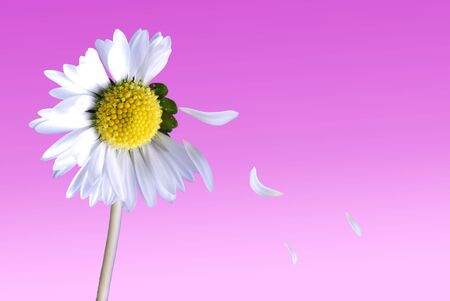 Daisy love me love me not concept with falling petals Stock Photo