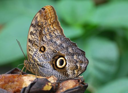 exoticism: Butterfly feeding on a rotting banana