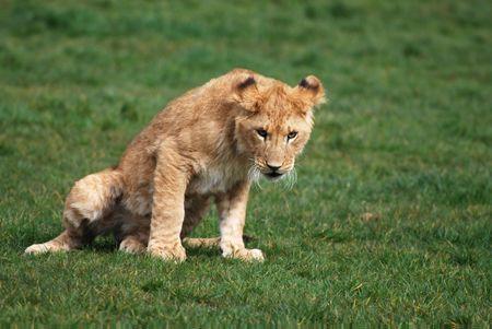 menacing: Young menacing looking lion cub.