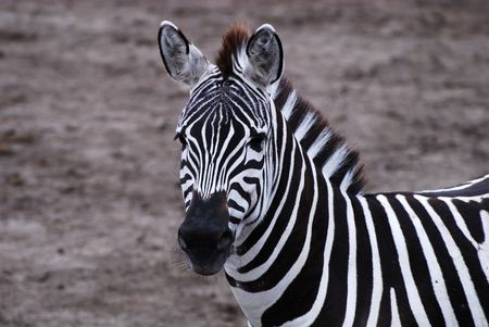 Gazing zebra at a safari park in england