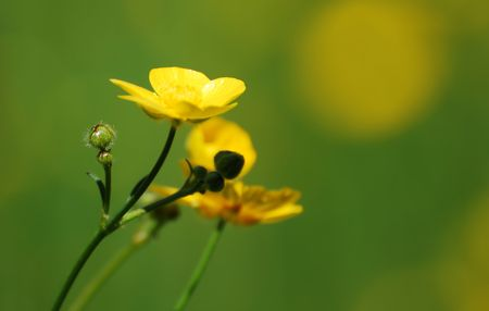 Close up of a buttercup and bud Stock Photo - 3194372