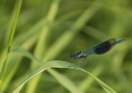 Blue and green dragonfly on a reed Stock Photo - 3194374