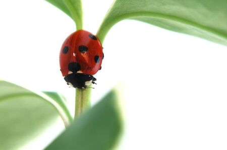 Ladybird crawling down a stem of a plant. Stock Photo - 3194373