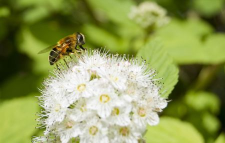 Honey Bee feeding on a white flower Stock Photo - 3194378