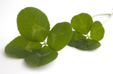 traditionally irish: Two, four leaf clovers isolated on a white background