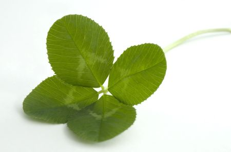 Lush green four leaf clover on a white background