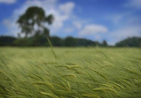 New wheat growth in a field landscape Stock Photo - 3194384
