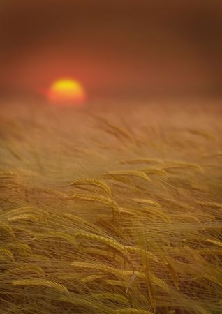 Wheat field landscape with a beautiful sunset Stock Photo - 3194383