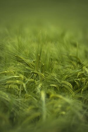 Close up shot of young green wheat Stock Photo - 3194389