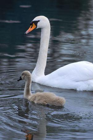 signet: Swan y el sello junto a un lago