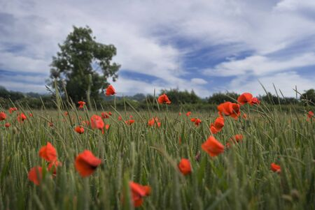 Beautiful poppy field landscape within a wheat field Stock Photo - 3242125