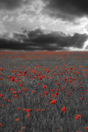 Black and white scene with red poppies Stock Photo - 3242126