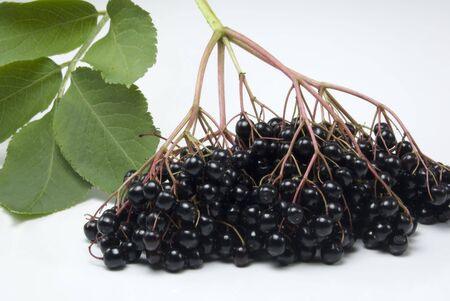 An isolated bunch of freshly picked elderberries