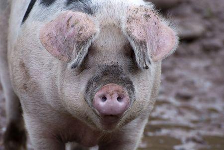 grunter: Close up shot of a nice pink pig