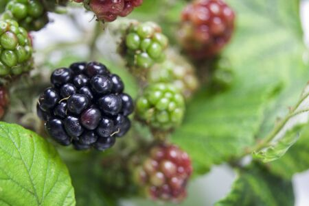 Many blackberries at different stages of ripeness Stock Photo - 3614871