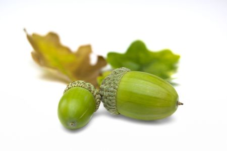 Acorns and leaves isolated on a white background Stock Photo - 3647253