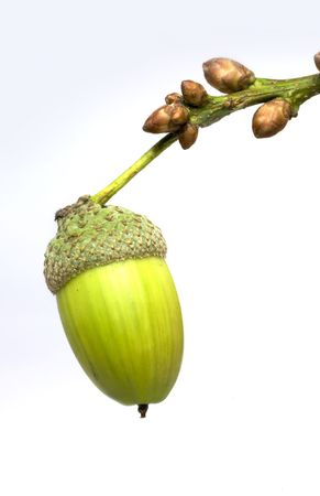 A lonely acorn hangning on a branch Stock Photo - 3647251